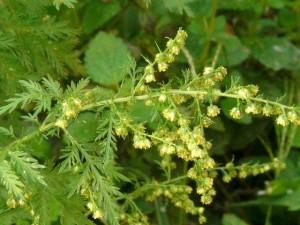 Artemisia annua - Bild: actaplantarum.org